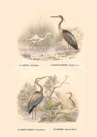 Little Egret, Purple Heron, Grey Heron, Squacco Heron